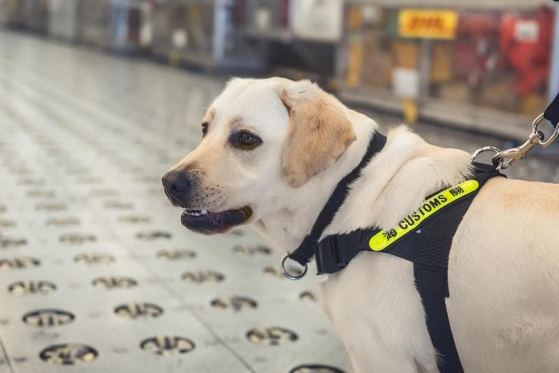 Vassos是拉布拉多尋回犬,這種狗體型高大可及常人腰部,外形可親,能勝任搜檢旅客、行李及貨物的工作。搜查犬組另有英國史賓格跳犬,專責貨運緝私工作。