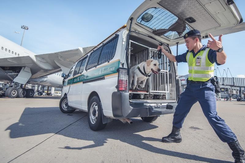 搜查犬執勤時會戴上黑色胸帶,Edwin說這是訓練一部分,讓狗隻整頓情緒,預備執行任務。